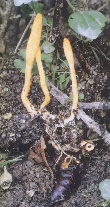 동충하초 사진