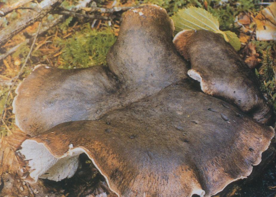 횐굴뚝 버섯 사진