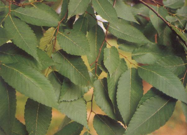 느티나무 사진