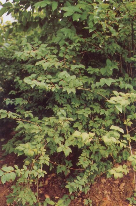 미선나무 사진