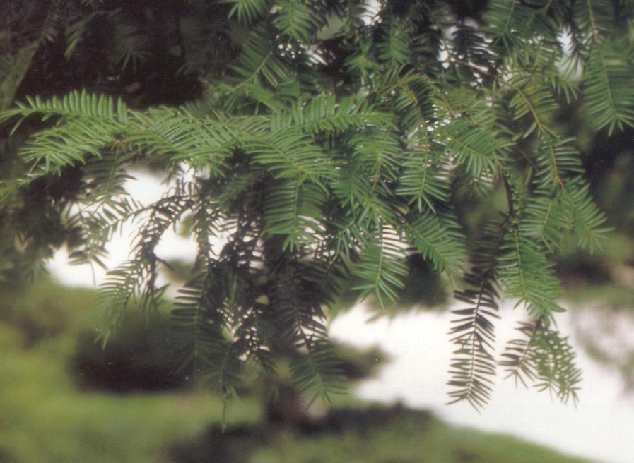 비자나무 사진