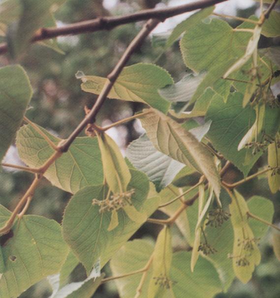 피나무 사진