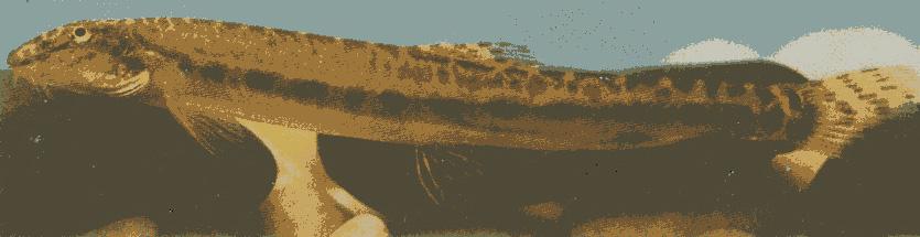 미호종개 사진
